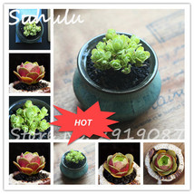 200PCS Rrae Green and Pink Mountain Rose Succulent seeds beautiful flowe... - $3.32