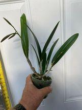 Brassocattleya Mary Dodson Nodosa Schilleriana Cattleya Orchid Plant 0326a image 5