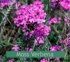 Moss Verbena (Verbena Tenuisecta)- 200 seeds- SHIP FROM US - $2.99