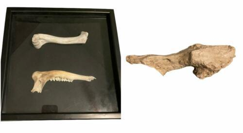 Fossil Taxidermy Framed Mandible + Other Bone Unknown Museum Type Specimen Art