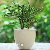 Hot Sale!6 Kinds Lucky Bamboo Choose Potted Seeds Variety Complete Draca... - $8.01