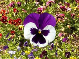 Pansy Mix Swiss Giants Seeds. 150+ seeds, or 1/4 gram - $7.99