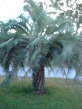 Pindo palm tree SEEDS real palm tree  - $6.00