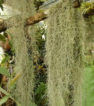 Organic Spanish Moss - Live Air Plant -Overstuffed Gallon Bag-We pick wh... - $12.99