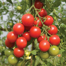 Sakura Organic Tomato Seed, Vegetable Seeds,Ship From US - $19.00