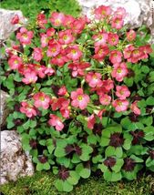 15 bulbs - Oxalis Iron Cross - Oxalidaceae Corms - The Good Luck Plant BX1G - $29.99