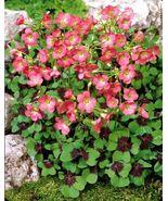 15 bulbs - Oxalis Iron Cross - Oxalidaceae Corms - The Good Luck Plant BX1G - $29.99