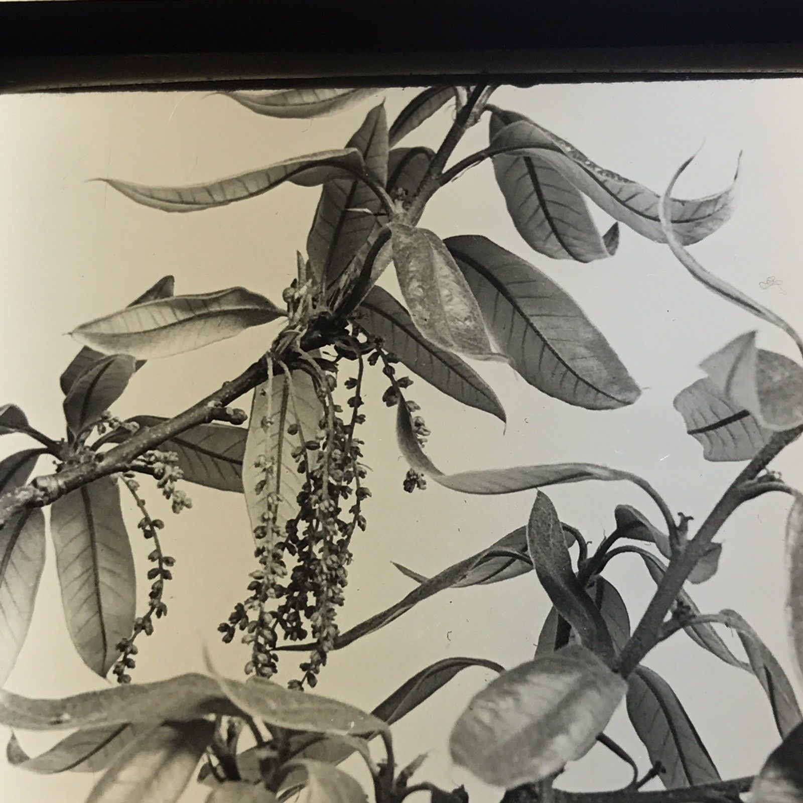 Vtg Keystone Magic Lantern Glass Slide Photo Oak Tree Shingle Botany