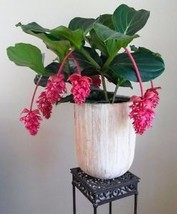 100PCS Medinilla Magnifica Plant Very Beautiful Bonsai Pink Flower Garden Home - $3.87