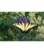 Perfectly Aligned Butterfly on Butterfly Bush (Photo Print) - $21.00