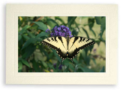 Perfectly Aligned Butterfly on Butterfly Bush (Photo Print)