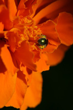 Tiny Insect Hard at Work, Covered in Pollen (Photo Print) - $21.00