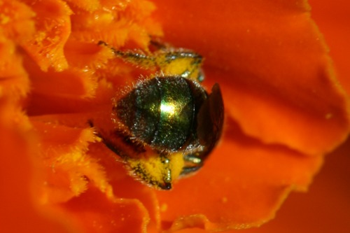 Tiny Insect Hard at Work, Covered in Pollen (Photo Print)