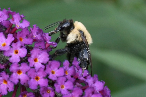 Bee Busy on Butterfly Bush (Photo Print)