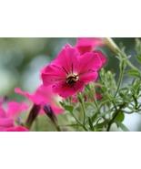 Clearwing Hummingbird Moth at Work in Petunia (Photo Print) - $21.00