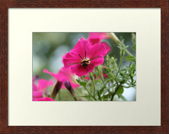 Clearwing Hummingbird Moth at Work in Petunia (Photo Print)