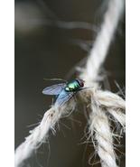 Bluebottle Fly on Garden Twine (Photo Print) - $21.00