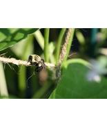 Bee Hanging Onto Bush Bean Support Twine (Photo Print) - $21.00