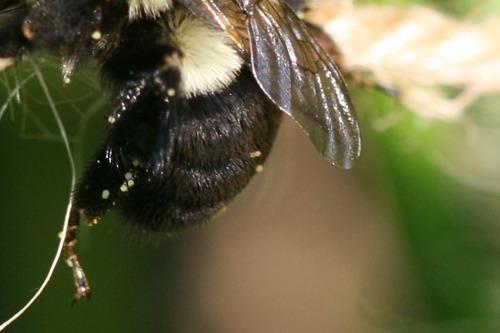 Bee Hanging Onto Bush Bean Support Twine (Photo Print)