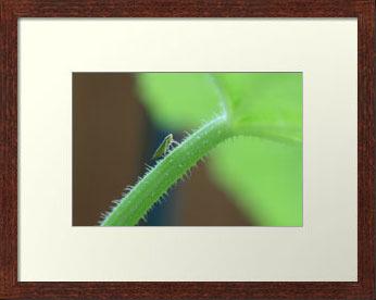 Tiny Leafhopper Climbing Cucumber Stalk (Photo Print)