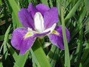 Louisiana iris for ebay