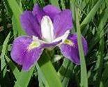 Louisiana iris for ebay thumb155 crop