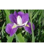 Louisianna Iris Blue & Violet Mixed 6 LIVE plants 1-2' - $21.99