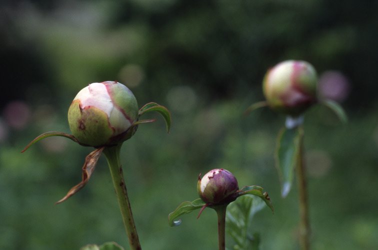 Peony Buds 14x18 matted print