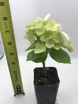 Live Plants HYDRANGEA White In 2 INCH POT Gardening Outdoor Living tkgc - $37.00