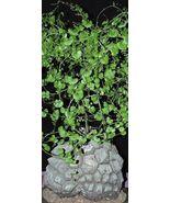 SHIPPED From US_Testudinaria Elephantipes-dioscorea Caudiciform 5 seeds-EC - $52.99
