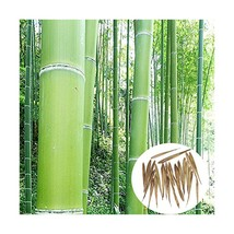 50 Seeds Phyllostachys Edulis 'Jaquith' Moso Bamboo Plant - $11.48