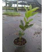 Bay Laurel Bay Leaf tree  Laurus nobilis  almost foot tall free shipping! - $34.50