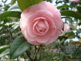 5 Pink #3 Camellia seeds Many Colors Tea Big flowers - $2.45