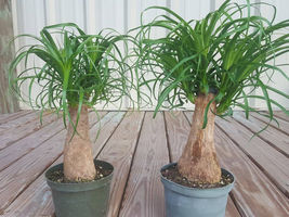 """Pony Tail Palm Tree Beaucarnea Recurvata Growing in a 6"""" Pot - $62.00"""