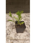 Talinum Triangulare Live Plant Waterleaf - $4.00