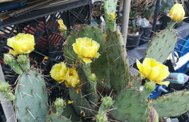 Opuntia engelmannii Bright Lemon Flowers Cold Hardy Whole Plant 85 - $24.70
