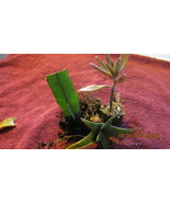 3 Plant Package 1 Mother of Million, 1 Aloe Vera, 1 Night Queen  Great Deal - $6.00