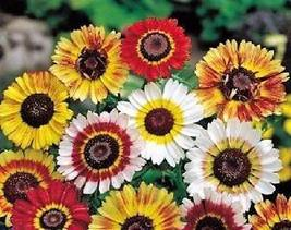 1 Packet of 250 Seeds Tricolor Painted Daisy - Asteraceae Asterales - Pyrenthrum - $9.77