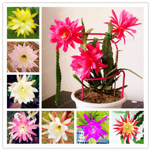 100 Pieces/Bag MIX Nopalxochia Seeds Orchid Cactus Plant Potted Lotus Seed  - $4.76