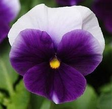 50 Pcs Pansy Seeds, Beaconsfield, Viola Seeds, Swiss Giant Pansies, Flow... - $13.99