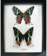 Amazing Set Madagascar Sunset Urania Ripheus Real Moths In Shadowbox - €52,30 EUR