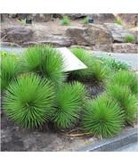 20 Seeds Hedgehog Agave Succulent Seeds Agave Stricta Seed - $18.43