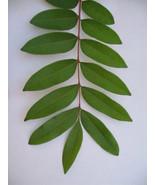 Lakshmi Taru / Paradise Tree / Simarouba Glauca Plant Leaves 150 Nos. - $18.99