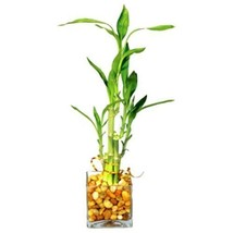 12 Inches Tall Bamboo Tree Chinese Symbol Of Good Fortune Lucky Bamboo P... - $46.61