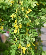Siberian Pea Shrub Tree seedling flowering and edible pea pods & poultry... - $47.99