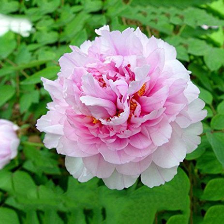 Primary image for Very Rare 'Fen Zhong Guan' Pink Pretty Perennial Peony Flower Seeds5 Seeds /Pack