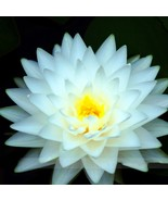 1 Professional Pack,1 seed /pack,Big Snow White Lotus Flower Nelumbo Pond Plants - $2.00