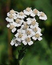 1/4 Pound Seeds of White Yarrow - $51.38
