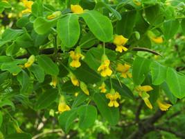 4 Variety Seeds - Siberian Pea Caragana Arborescens Tree Seeds #TSP - $16.99+