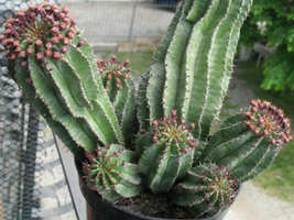 10 Seeds of Euphorbia Cereiformis (Milk Barrel Spurge) DS - $19.95